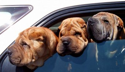 Assicurazioni animali in auto
