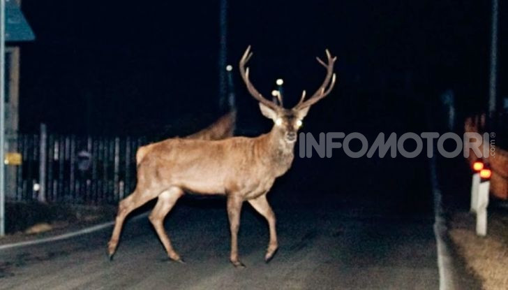 cervo di notte